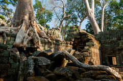 在一个寺庙的树在Ta Prohm 库存图片