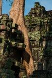 在一个寺庙的树在Ta Prohm 库存照片