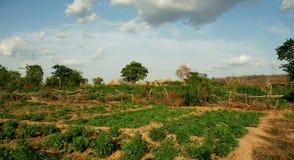 在一个小有机农场的绿色领域的看法在加纳 免版税库存照片