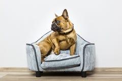 在一个小沙发的牛头犬 图库摄影