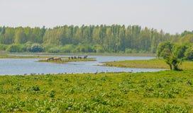 在一个小海岛上的马在沼泽地在春天 图库摄影