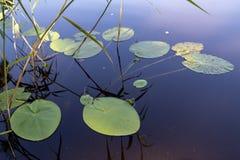 在一个小湖的岸的荷花 水植物群在中欧 图库摄影