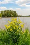 在一个小湖的岸的黄色开花的油菜籽 免版税图库摄影