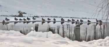 在一个小湖附近的很多鸭子在冷的冬日 美好的冬天环境美化与雪、结冰的湖和鸟 图库摄影