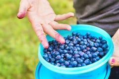 在一个小箱和容器的蓝莓在森林里 免版税库存照片
