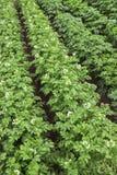 在一个小领域的开花的土豆夏季 免版税图库摄影
