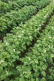 在一个小领域的开花的土豆 免版税库存照片