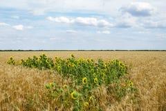 在一个小麦领域中的向日葵夏天下午 免版税库存照片