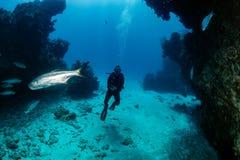 在一个小洞的大海鲢与轻潜水员 库存图片
