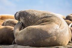 在一个小组的海象后面在卡尔王子岛的海象,斯瓦尔巴特群岛 免版税库存图片