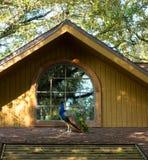 在一个屋顶的一个孔雀在佛罗里达 库存图片