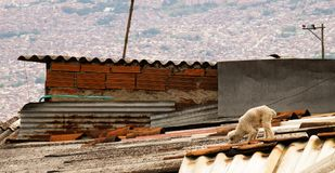 在一个屋顶的一条狗在麦德林,哥伦比亚 免版税库存照片