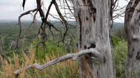 在一个山坡的干燥死的树在森林照相机继续前进滑子 平行的作用 自然的横向 的treadled 股票录像
