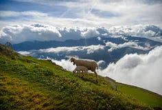 在一个山坡的绵羊在白色云彩背景  库存图片