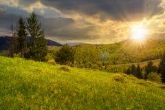 在一个山坡的Pineforest在日落 免版税库存图片