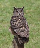 在一个岗位栖息的一只欧亚欧洲产之大雕在春天 免版税库存图片