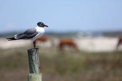 在一个岗位的笑的鸥有马的在背景中 库存图片