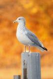 在一个岗位的鲱鸥有秋天叶子的在背景中 免版税图库摄影