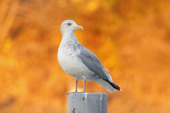 在一个岗位的鲱鸥有秋天叶子的在背景中 库存照片