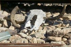 在一个岩石地板上的公牛头骨 库存图片