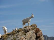 在一个岩石峰顶的山羊 免版税图库摄影