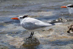 在一个岩石平衡的皇家燕鸥海鸟在海洋 库存照片