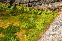 在一个岩石水池的海草由海岸 免版税图库摄影