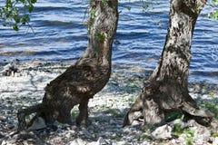 在一个岩石河岸的两棵树有被缠结的光秃的根的 免版税库存照片