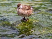 在一个岩石的一只棕色鸭子在水中 库存照片