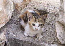 在一个岩石的一只野生猫在以弗所废墟  免版税库存照片