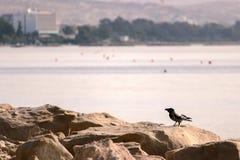 在一个岩石的一只黑乌鸦在海的海滩 库存照片