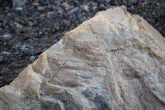 在一个岩石的化石叶子在斯瓦尔巴特群岛 库存图片