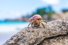 在一个岩石的大,美丽的热带寄居蟹在海滩 免版税库存图片