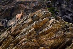 在一个岩石的幼小高地山羊在大帕拉迪索山国立公园动物区系野生生物,意大利阿尔卑斯山 图库摄影