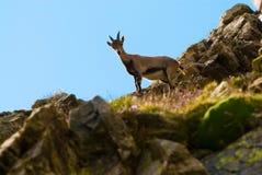 在一个岩石的幼小高地山羊在大帕拉迪索山国立公园动物区系野生生物,意大利阿尔卑斯山 免版税库存照片