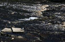 在一个岩石的海鸥在风雨如磐的河 免版税库存图片
