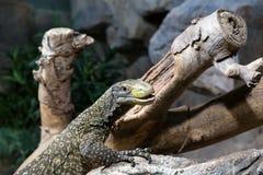 在一个岩石的爬行动物在树附近 免版税库存照片