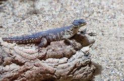 在一个岩石的爬行动物在树附近 免版税图库摄影