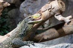 在一个岩石的爬行动物在树附近 库存照片