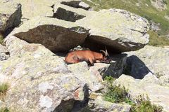 在一个岩石的石山羊在南蒂罗尔阿尔卑斯 库存照片