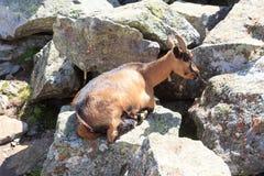 在一个岩石的石山羊在南蒂罗尔阿尔卑斯 免版税库存照片
