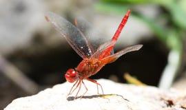在一个岩石的红成脉络的dropwing的蜻蜓与被上升的翼 图库摄影