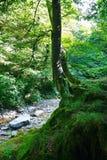 在一个岩石的老树在有山小河的寡妇森林里在一个晴天 库存照片