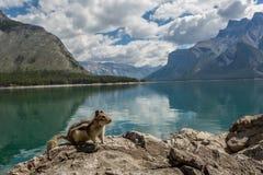 在一个岩石的花栗鼠由山湖 免版税库存照片