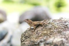 在一个岩石的蜥蜴,在它的自然生态环境 图库摄影