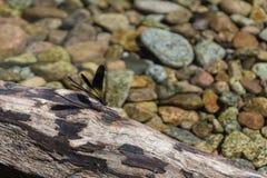 在一个岩石的蜻蜓在山小河 免版税库存照片