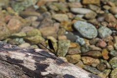 在一个岩石的蜻蜓在山小河 库存图片