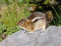 在岩石的金黄被覆盖的地松鼠 免版税库存图片