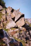 在一个岩石的高地山羊在大帕拉迪索山国立公园动物区系野生生物,意大利阿尔卑斯山 免版税库存照片