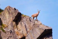 在一个岩石的高地山羊在大帕拉迪索山国立公园动物区系野生生物,意大利阿尔卑斯山 免版税库存图片